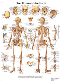 Human Skeleton VR1113 Poster