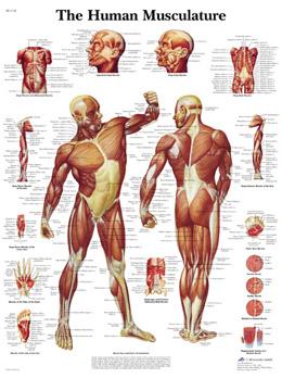 Human Musculature VR1118 Poster